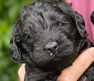 black labradoodle puppy.jpeg