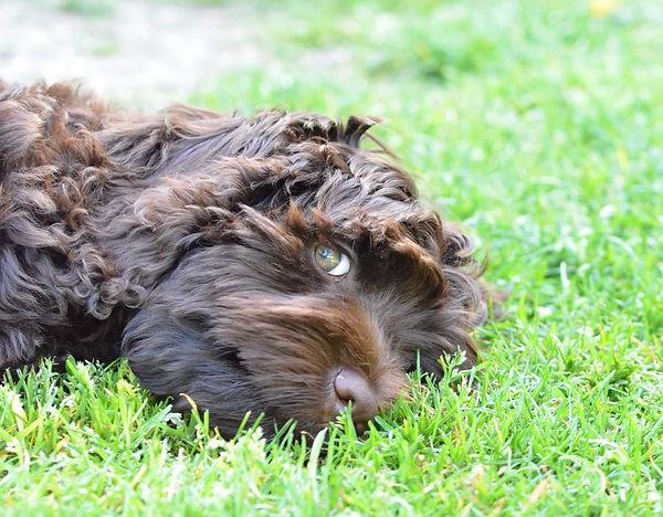 labradoodle puppy ALD