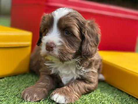 Northbound chocolate labradoodle puppy.j