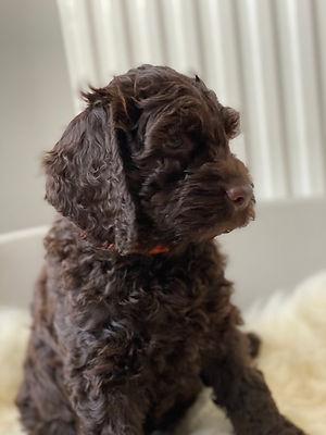 australian labradoodle puppy.jpg