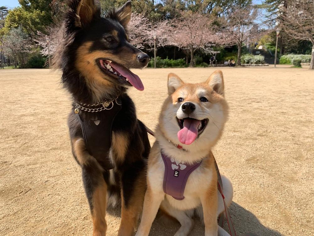 楓ちゃん靱公園で桜と写真