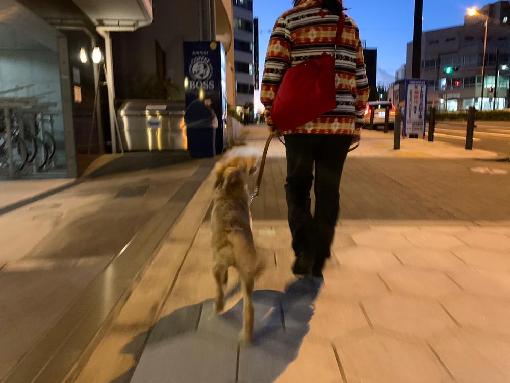 ココちゃんお散歩トレーニング