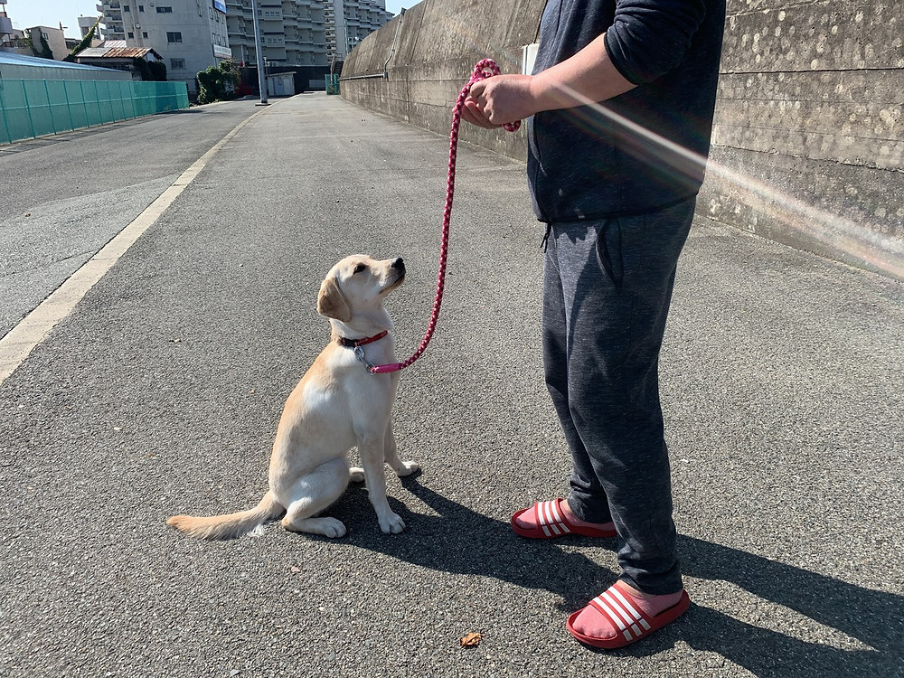 むぎちゃんお散歩トレーニング