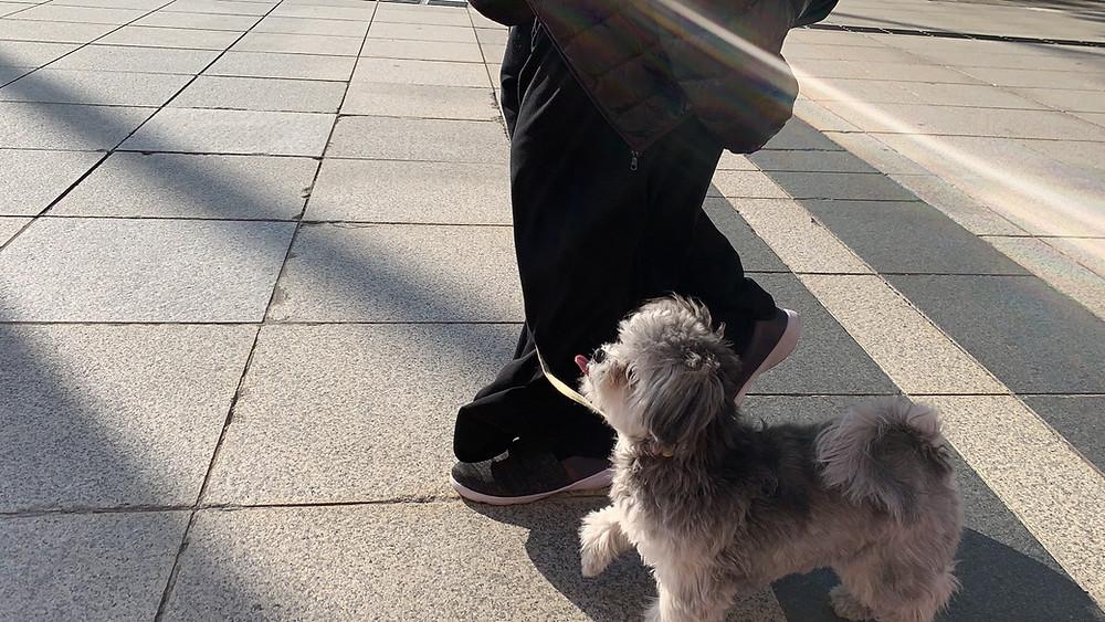 ルチルちゃんお散歩で引っ張らない練習