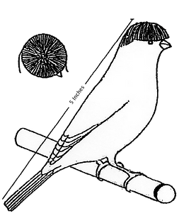 Stafford Canary Club of America Standard Crest