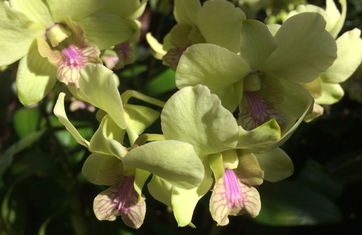 Lime Orchid