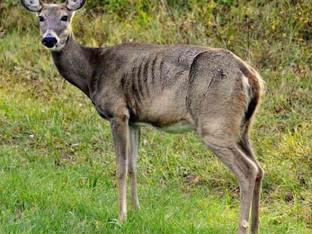 Zombie Deer Disease spreading in North America