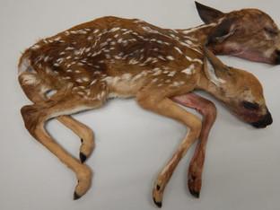 Deformed two headed baby deer discovered in the Minnesota Woods