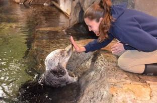 Georgia Aquarium mourns loss of sea otter Oz
