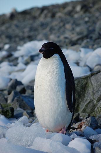 Adelie Penguin.jpg