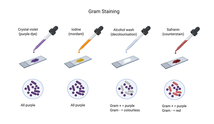 Gram Staining.png