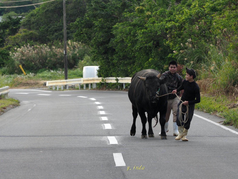闘牛の散歩