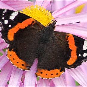 Butterfly Bonanza: Red Admirals Swarm to NJ