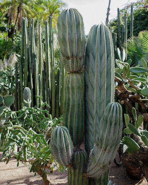 Moroccan Cactus