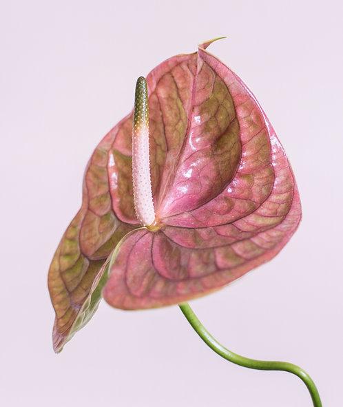 Pink Anthurium 2