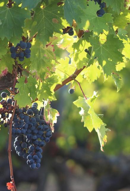 Découvrez les vins d'Anjou pendant votre séjour à Montjean sur Loire.