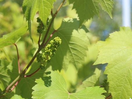 La vigne est en fleur !