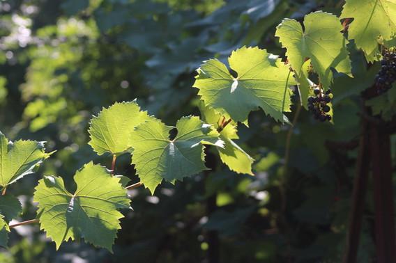 La vigne est omniprésente sur les chemins de randonnée à Montjean sur Loire