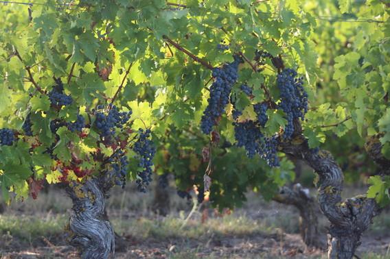 Découvrez les vignobles d'anjou pendant vos vacances à Montjean sur Loire