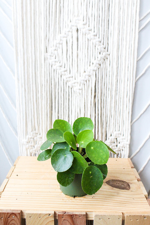 "4"" Pilea Peperomioides ""Chinese Money Plant"""
