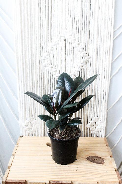 """4"""" Rubber Plant"""