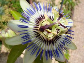 Passionsblume – die Schöne mit vielen Wirkungen