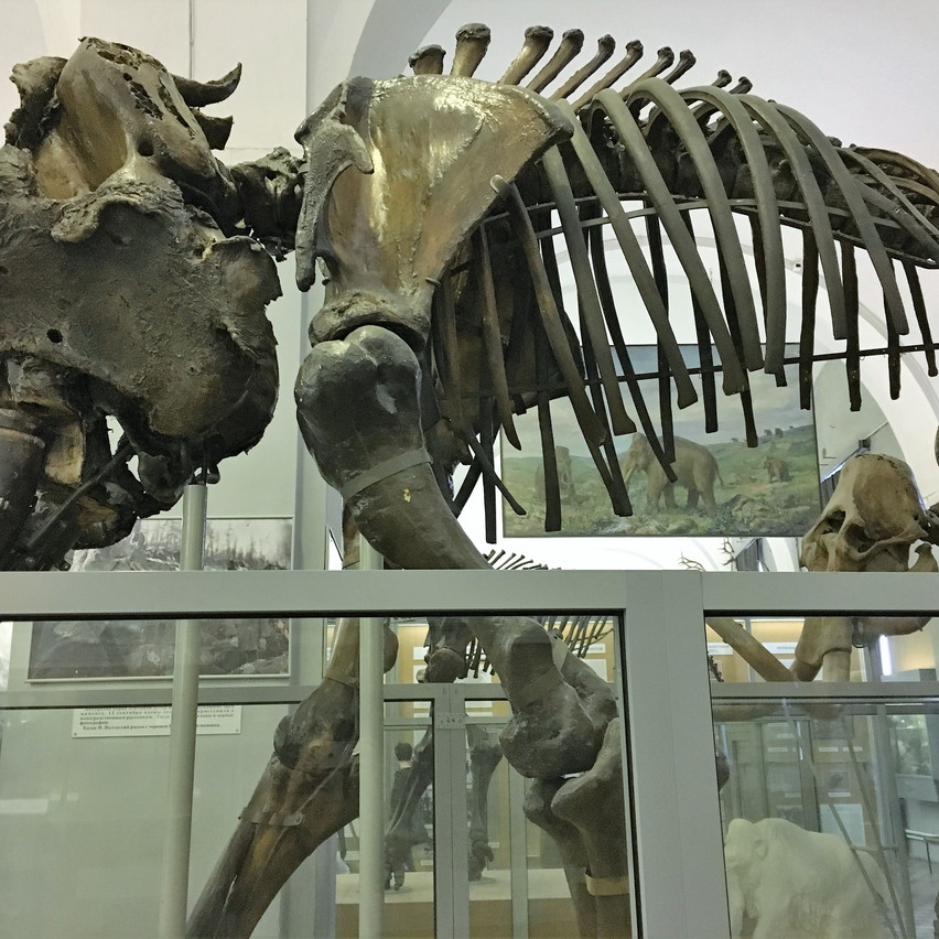 The mammoth's skeleton is impressive
