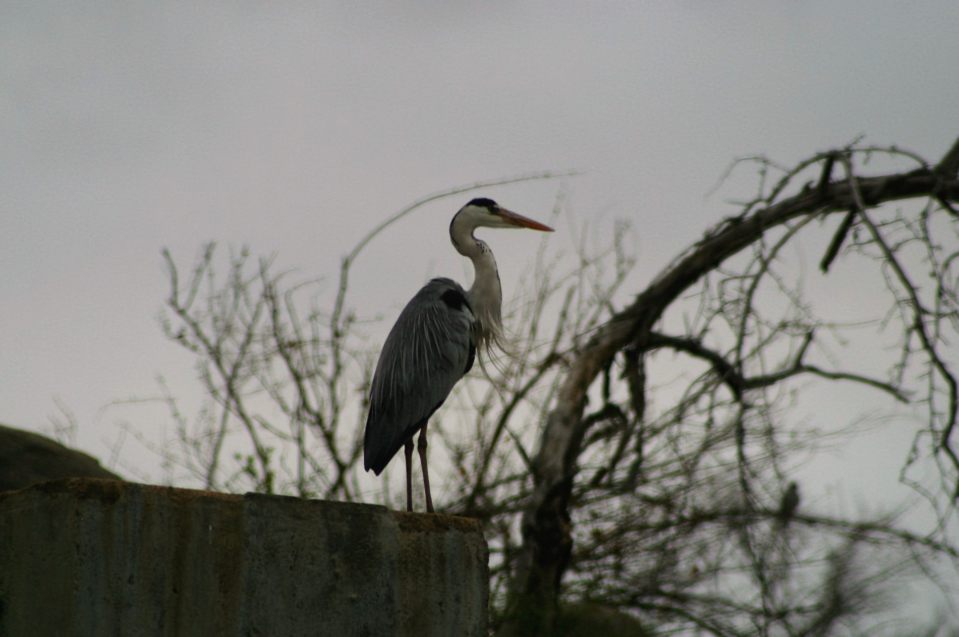 Heron looking on