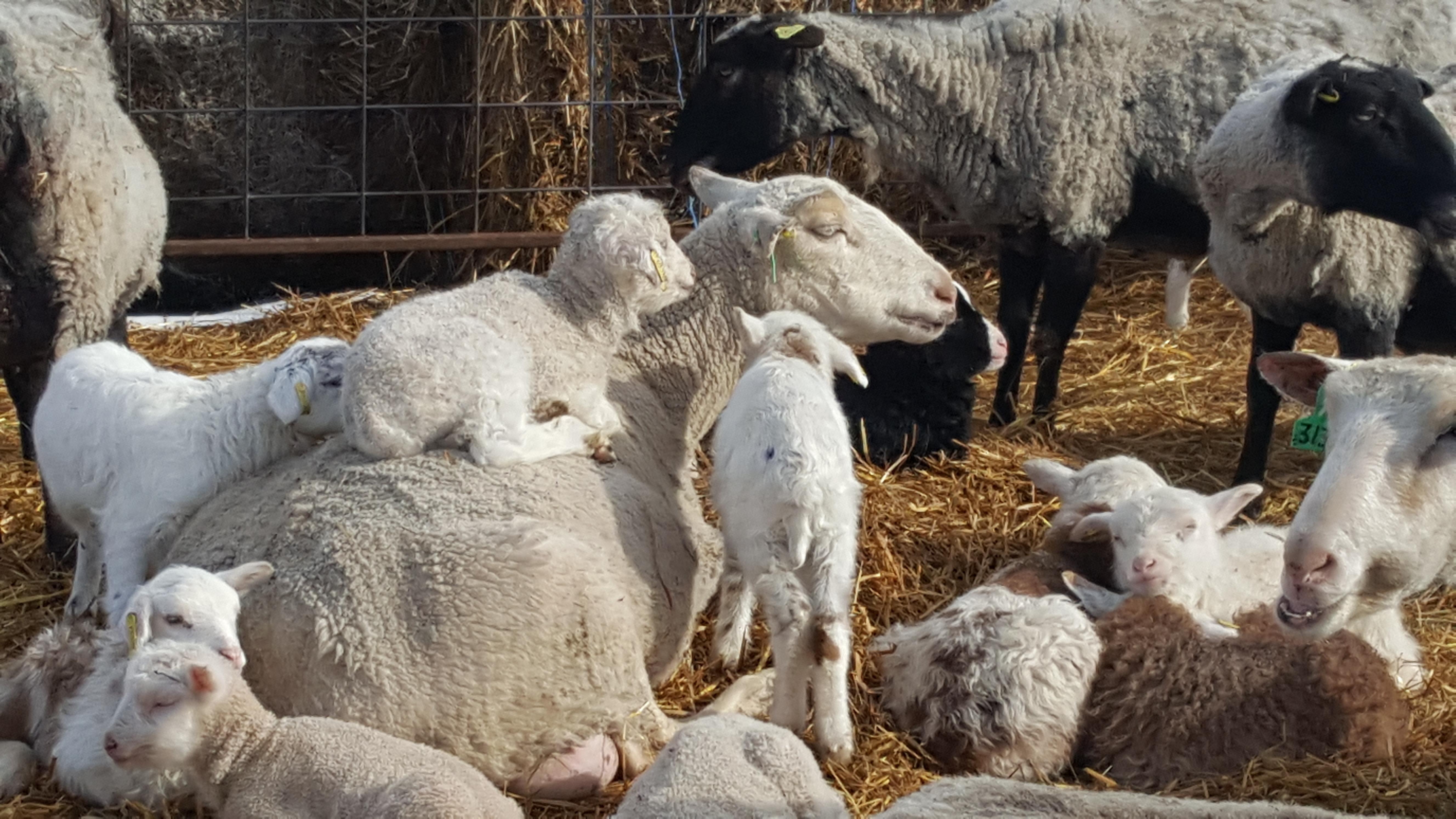 Lamb sitter
