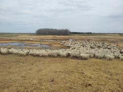 Bale grazing residual