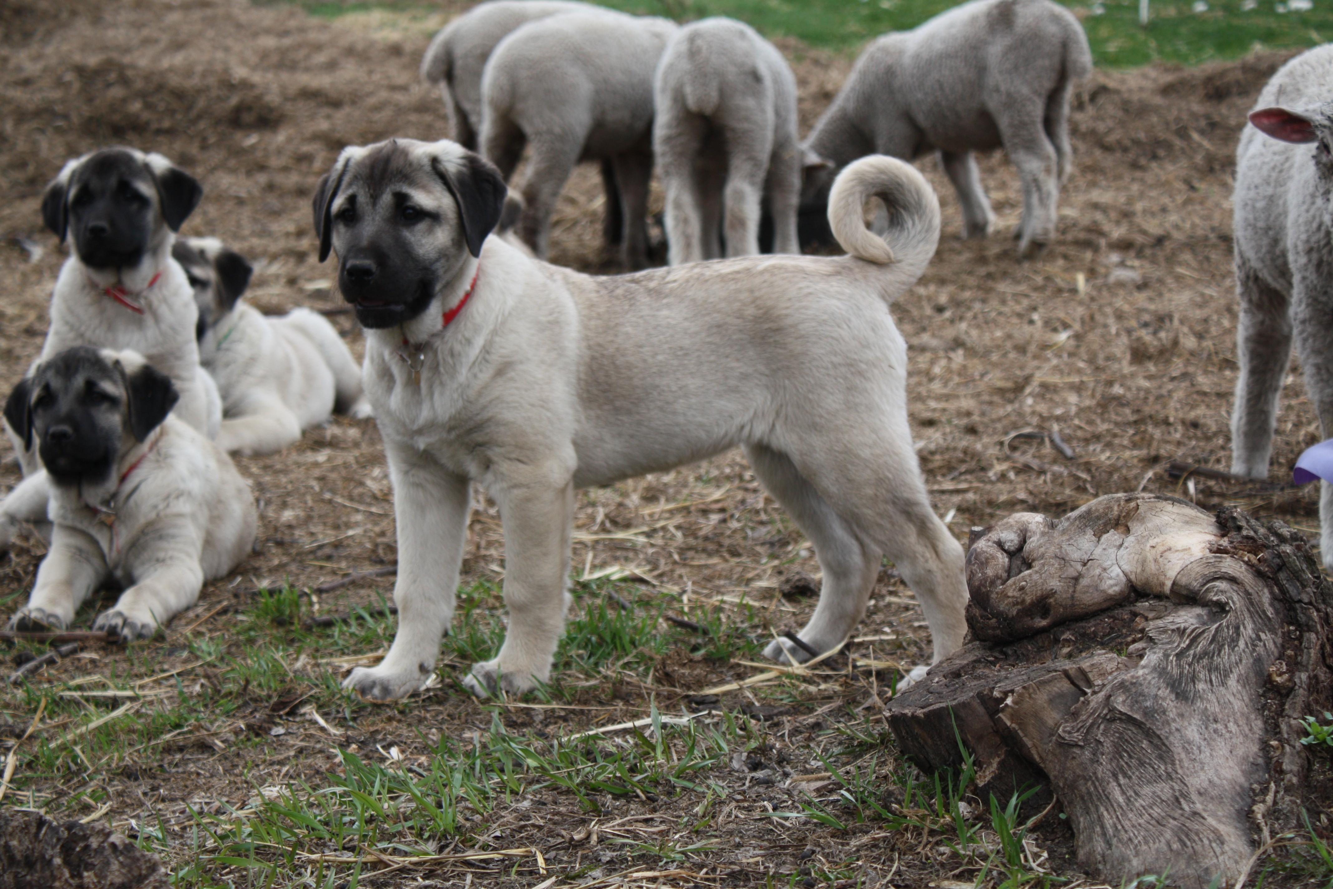 Kangal pups