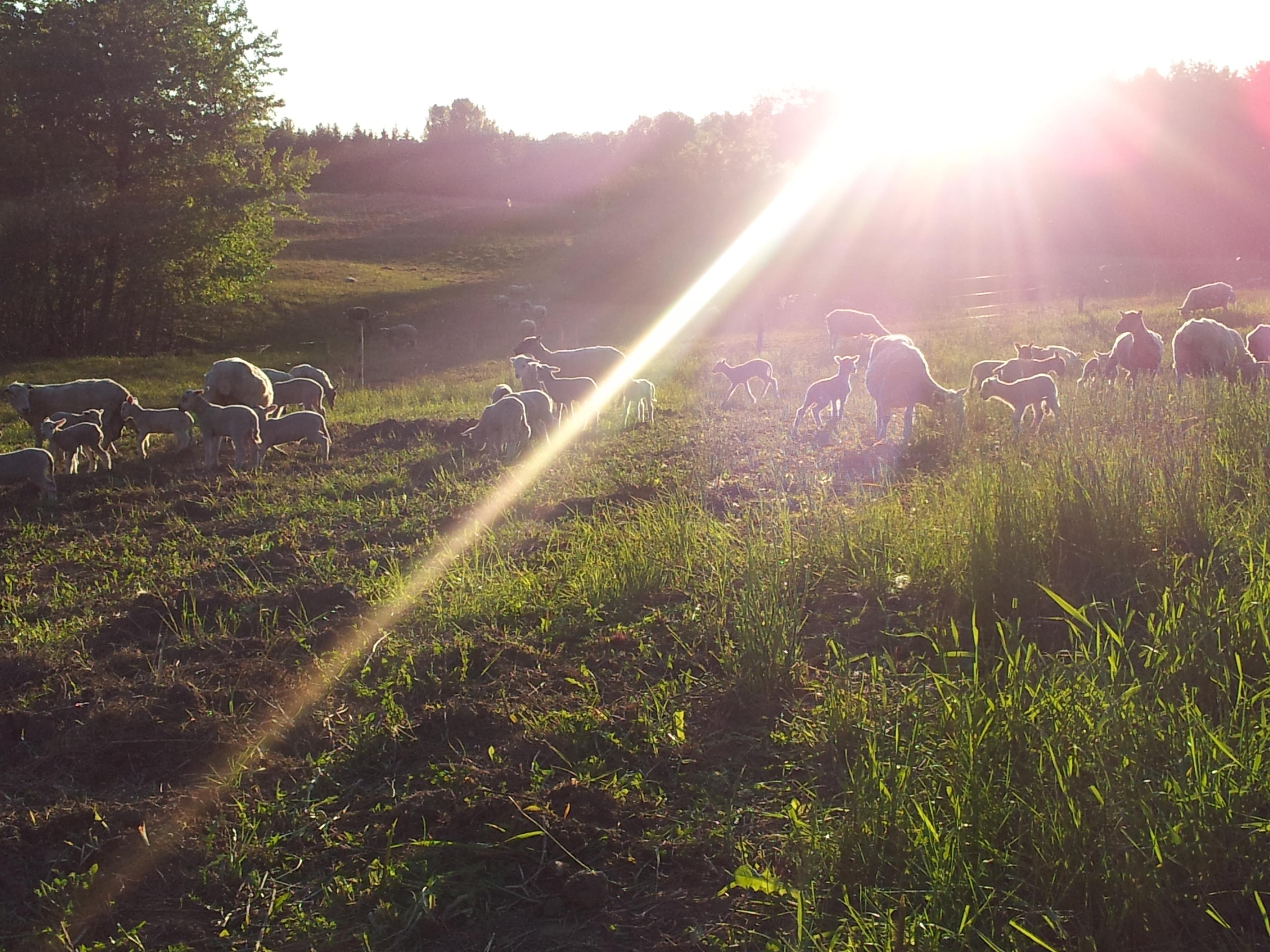 Lambing on grass