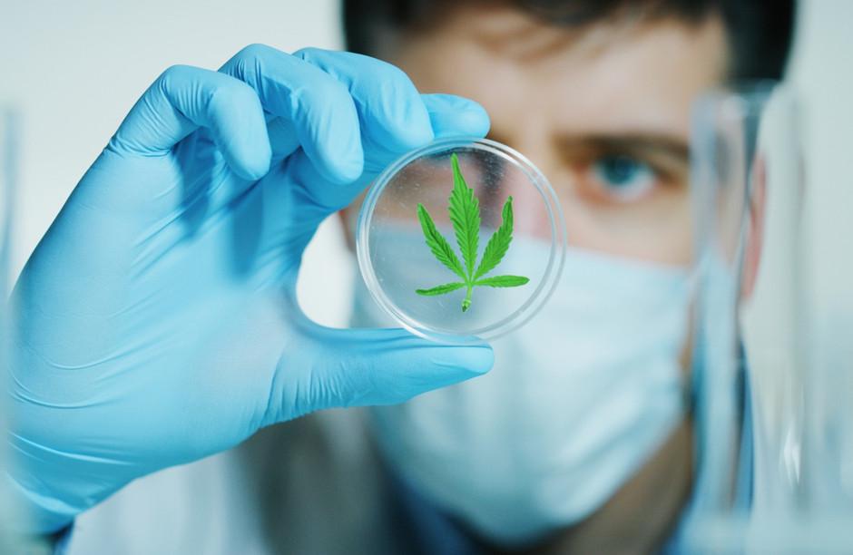 Cannabis lab technician examines marijuana leaf in a petri dish