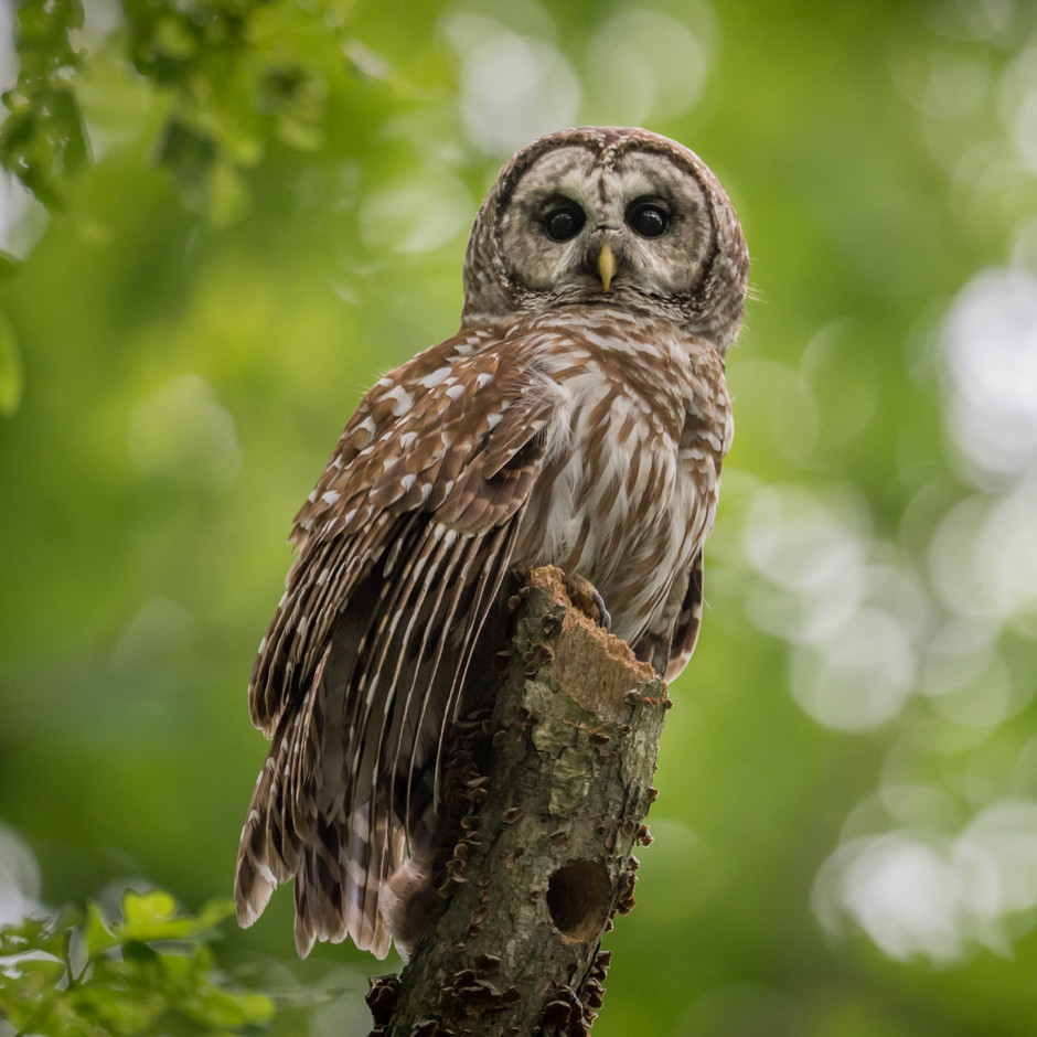 A Barred Owl in a Northern California forest.