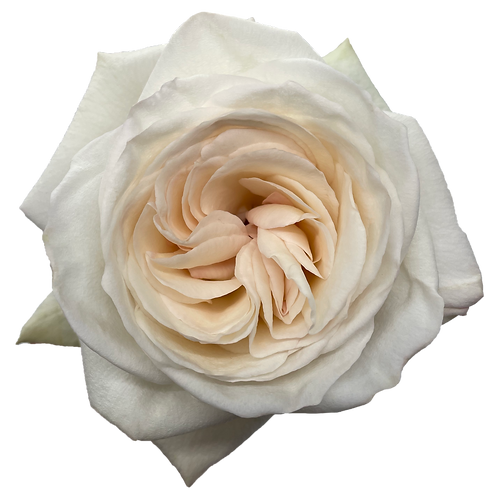 White O'Hara
