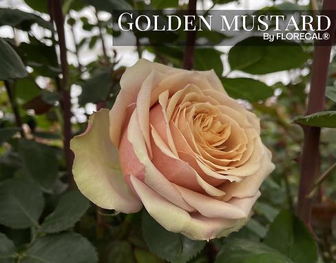 Golden Mustard.png