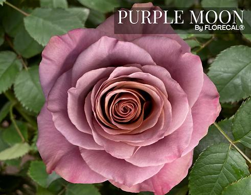 Purple Moon.png