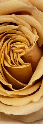Golden Mustard Rosse Variety