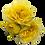 Thumbnail: Lemon Pompon