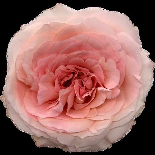 Mayra's Rose Bridal Pink
