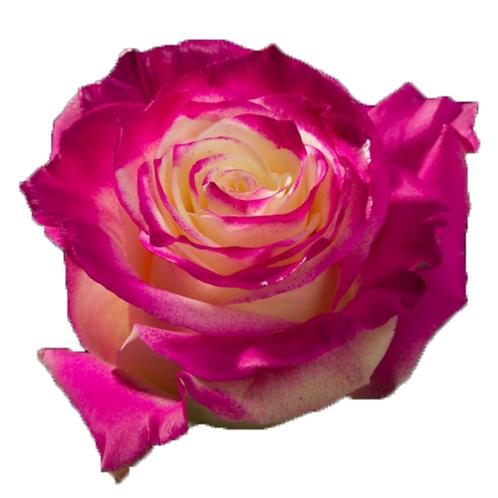 Fantasy Hot Pink