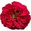 Thumbnail: Mayra's Rose Bright