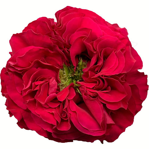 Mayra's Rose Bright