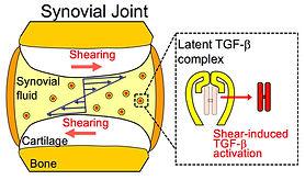 Mechanobiology Project_Fig1.jpg