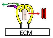 mechanobiology icon.jpg