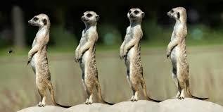 Meerkats showing alertness
