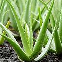 aloe-vera-plants_edited.jpg