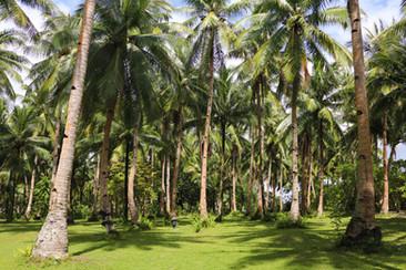coconut tree grove.jpg