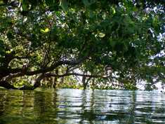 Under the mangroves in Punta Dolores