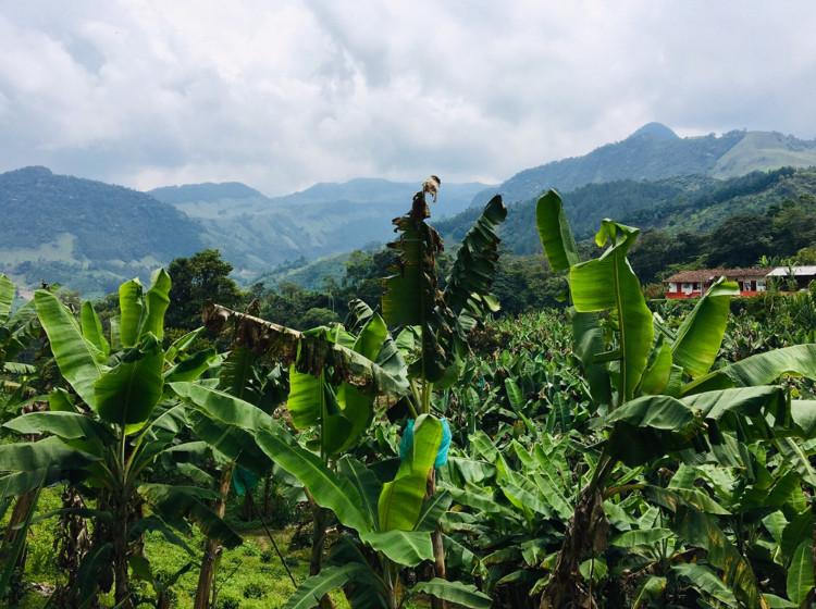 Bananiers de Jardin, Colombie